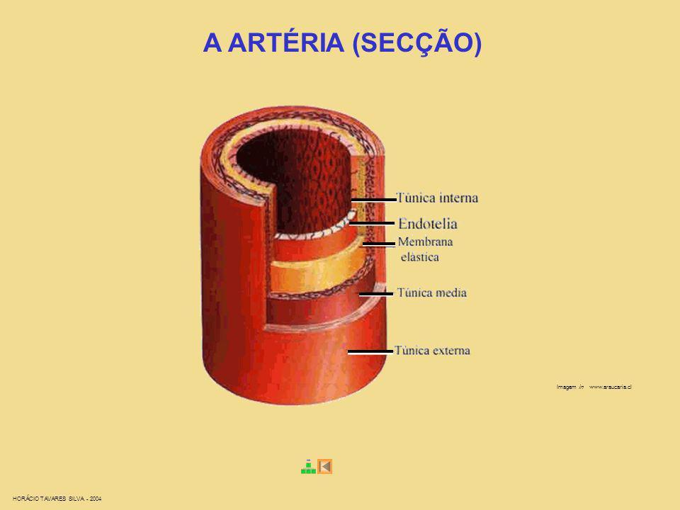 A ARTÉRIA (SECÇÃO) Imagem in www.araucaria.cl
