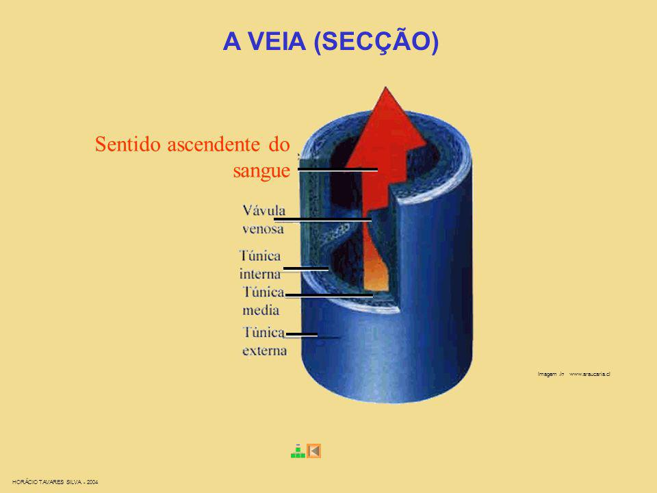 A VEIA (SECÇÃO) Sentido ascendente do sangue