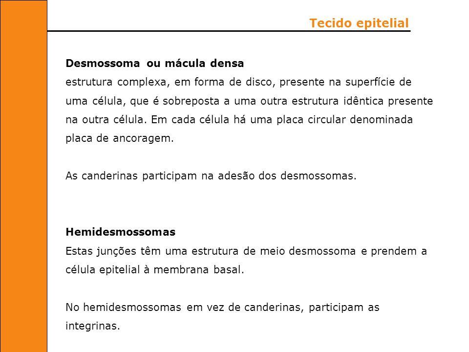 Tecido epitelial Desmossoma ou mácula densa