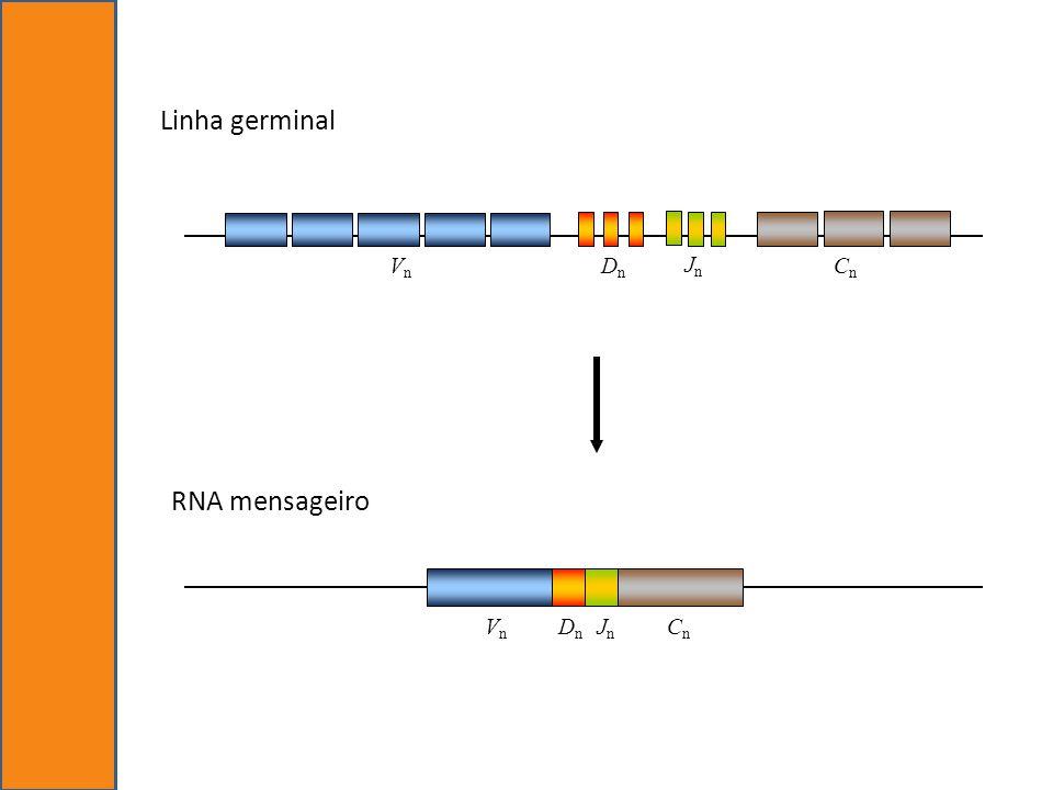 Linha germinal Cn Vn Dn Jn RNA mensageiro Dn Cn Vn Jn