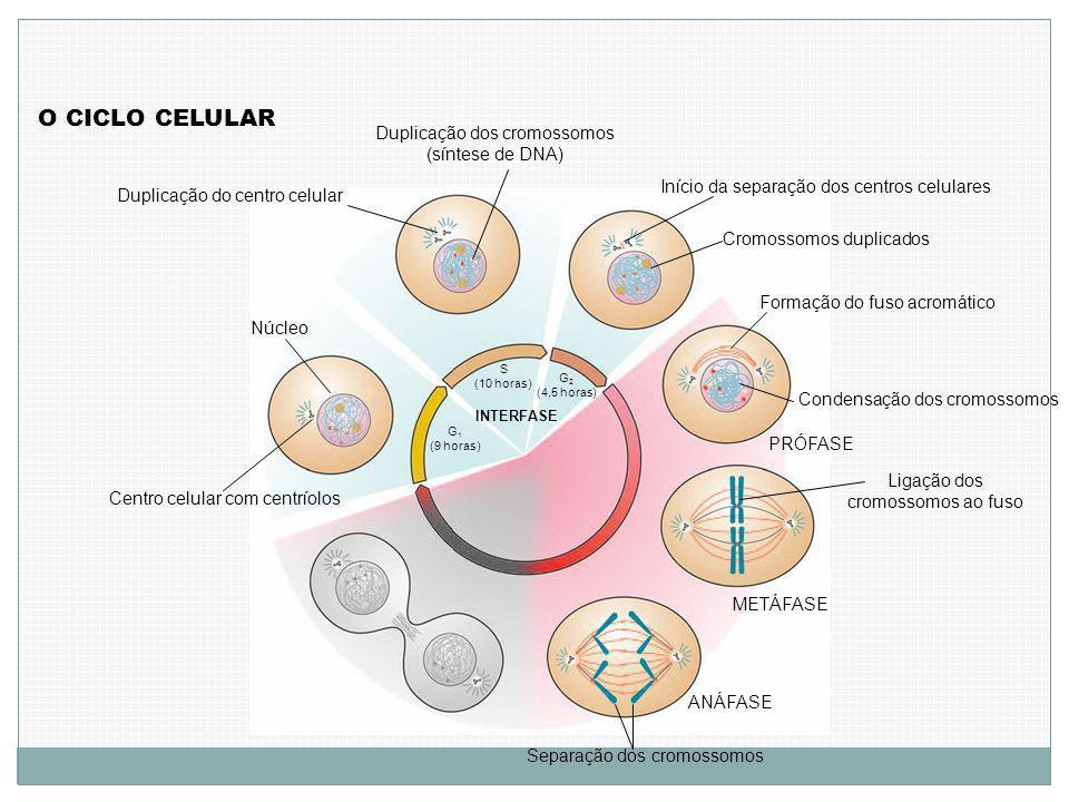 O CICLO CELULAR Duplicação dos cromossomos (síntese de DNA)