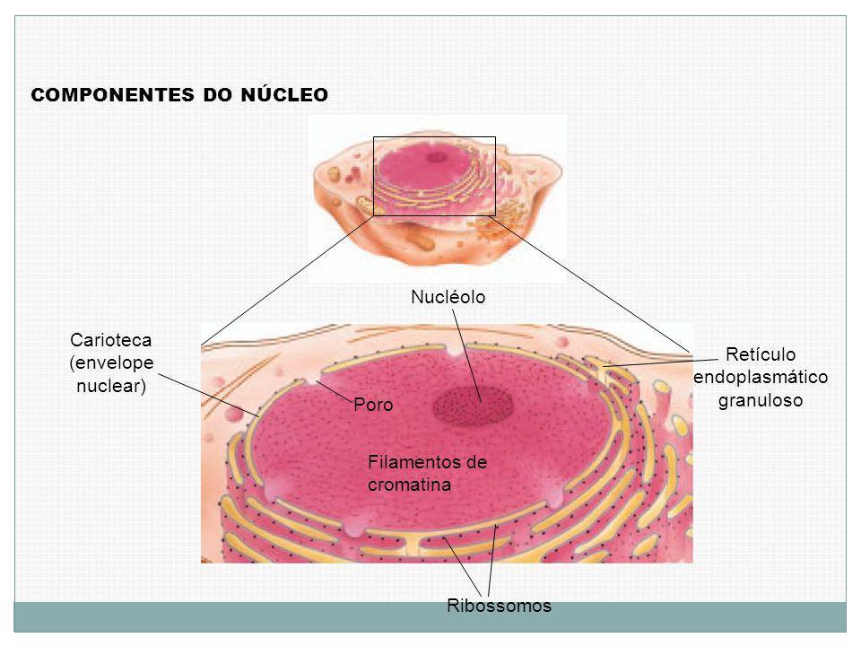 Carioteca (envelope nuclear) Retículo endoplasmático granuloso