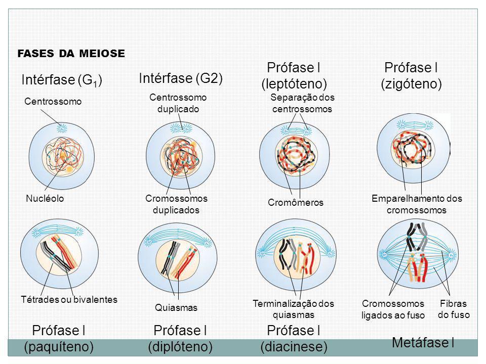 Prófase I (leptóteno) Prófase I (zigóteno) Intérfase (G2)