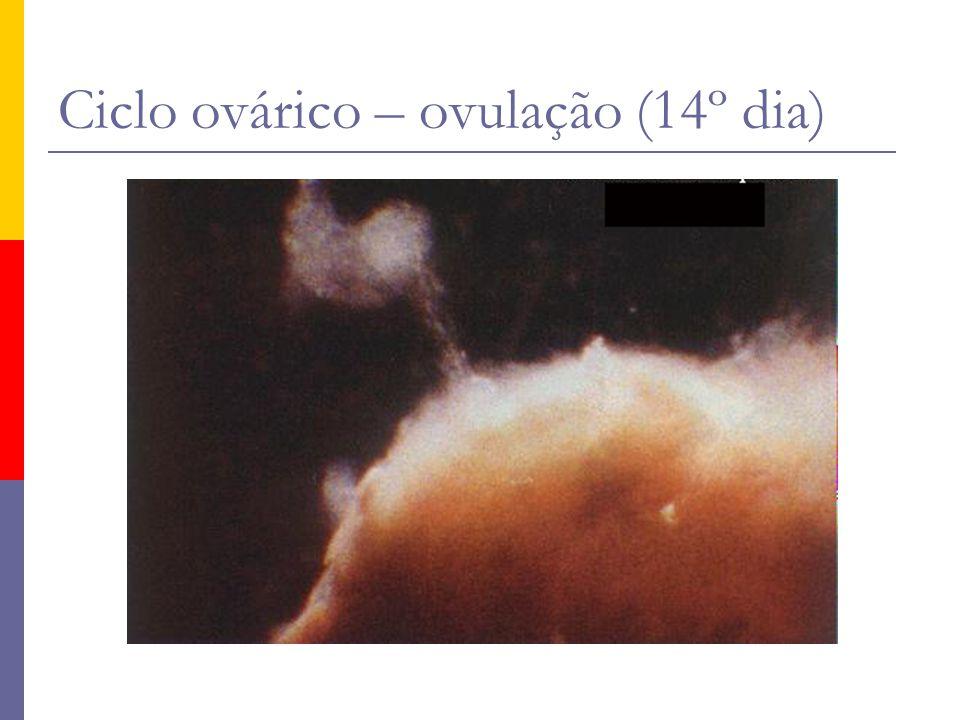 Ciclo ovárico – ovulação (14º dia)