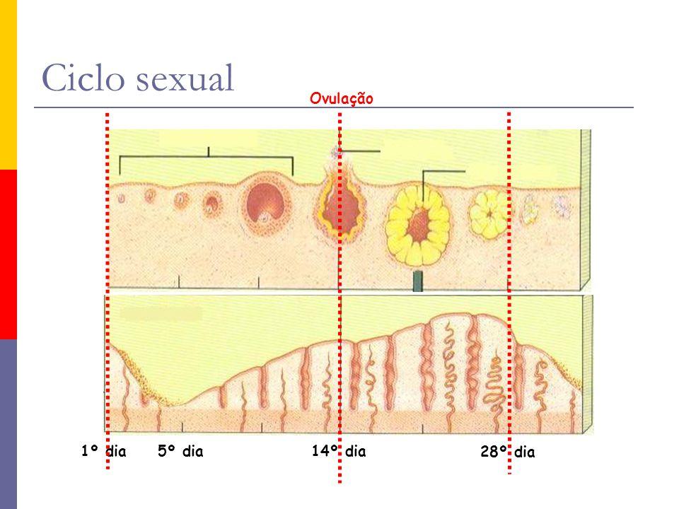 Ciclo sexual Ovulação 28º dia 14º dia 5º dia 1º dia 28º dia 14º dia