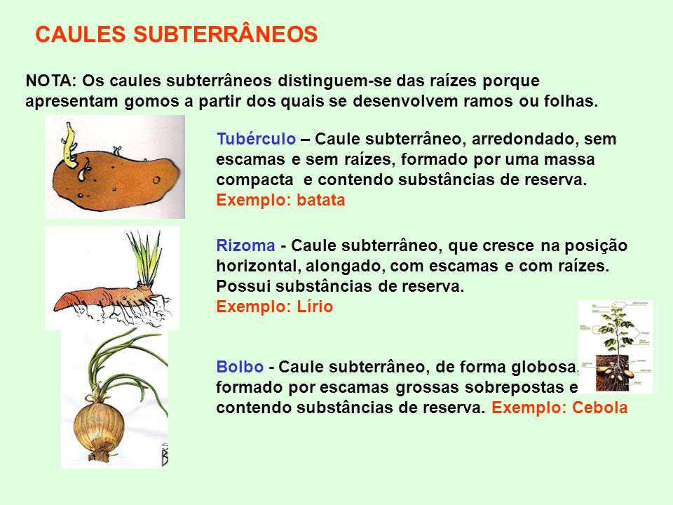 CAULES SUBTERRÂNEOS NOTA: Os caules subterrâneos distinguem-se das raízes porque apresentam gomos a partir dos quais se desenvolvem ramos ou folhas.