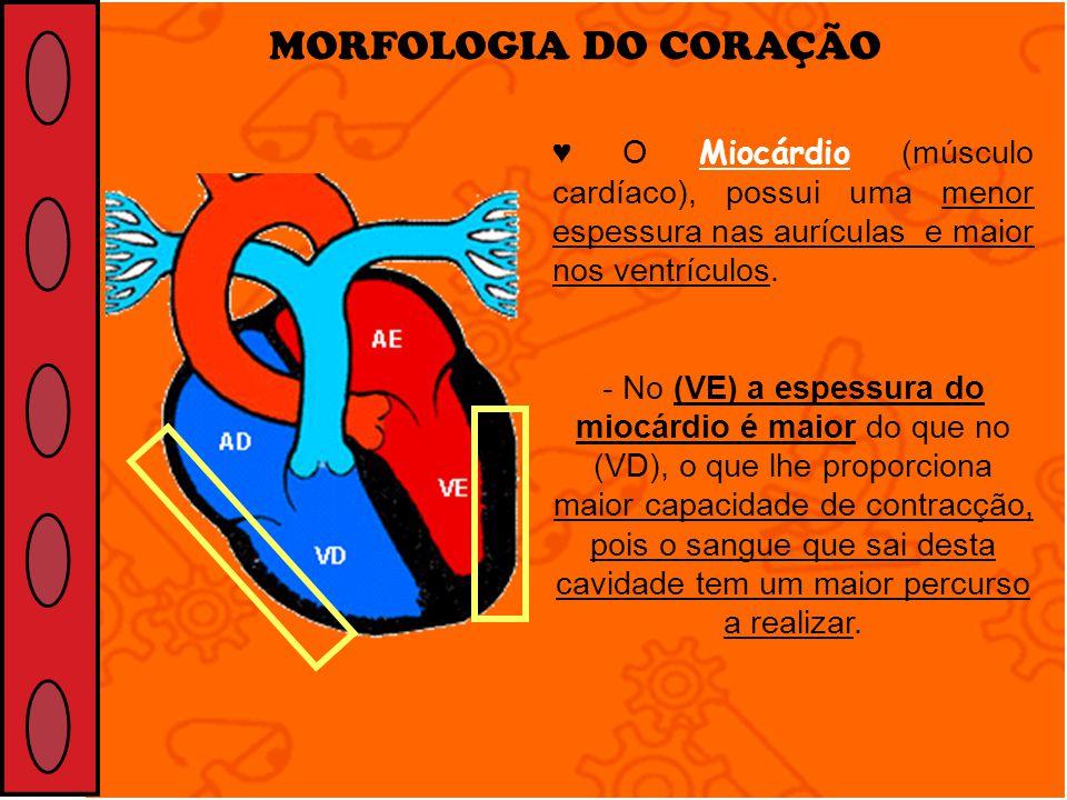 MORFOLOGIA DO CORAÇÃO ♥ O Miocárdio (músculo cardíaco), possui uma menor espessura nas aurículas e maior nos ventrículos.