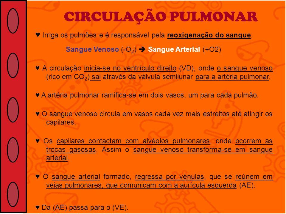 CIRCULAÇÃO PULMONAR ♥ Irriga os pulmões e é responsável pela reoxigenação do sangue. Sangue Venoso (-O2)  Sangue Arterial (+O2)