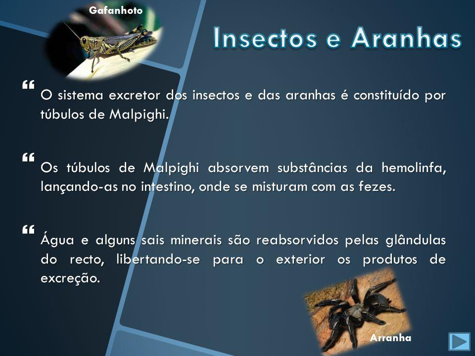 Gafanhoto Insectos e Aranhas. O sistema excretor dos insectos e das aranhas é constituído por túbulos de Malpighi.