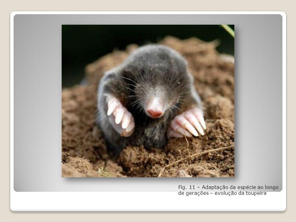 Fig. 11 – Adaptação da espécie ao longo de gerações – evolução da toupeira