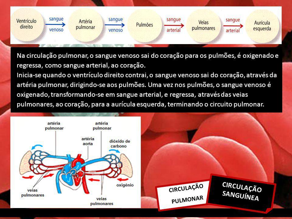 Na circulação pulmonar, o sangue venoso sai do coração para os pulmões, é oxigenado e regressa, como sangue arterial, ao coração. Inicia-se quando o ventrículo direito contrai, o sangue venoso sai do coração, através da artéria pulmonar, dirigindo-se aos pulmões. Uma vez nos pulmões, o sangue venoso é oxigenado, transformando-se em sangue arterial, e regressa, através das veias pulmonares, ao coração, para a aurícula esquerda, terminando o circuito pulmonar.