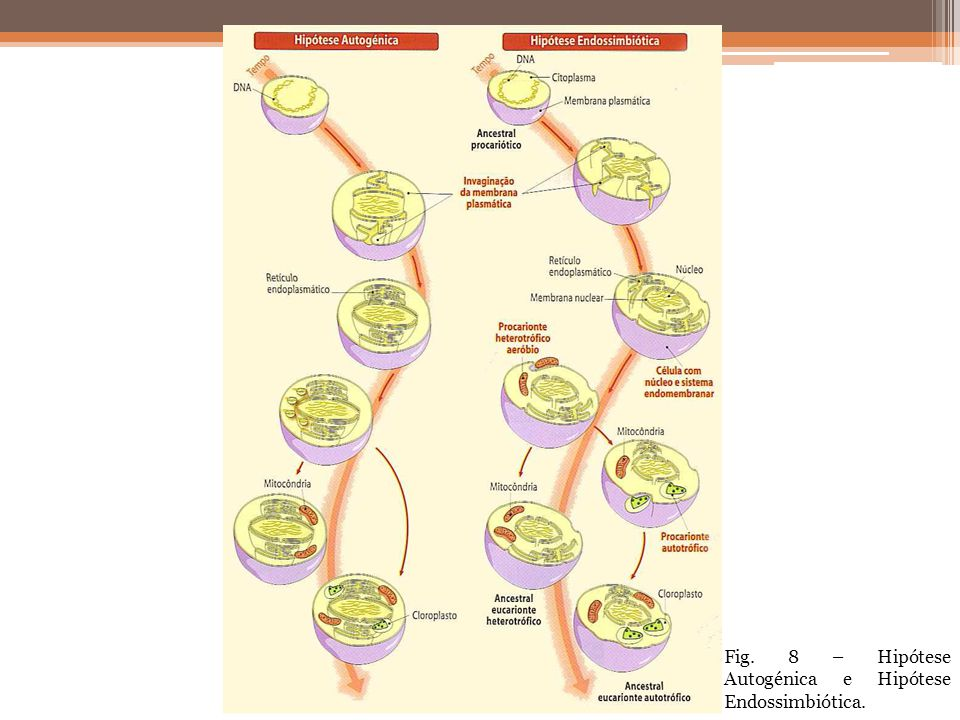 Fig. 8 – Hipótese Autogénica e Hipótese Endossimbiótica.