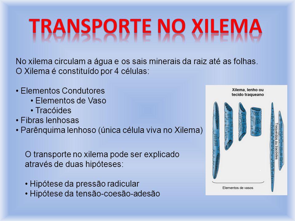 Transporte no xilema No xilema circulam a água e os sais minerais da raiz até as folhas. O Xilema é constituído por 4 células: