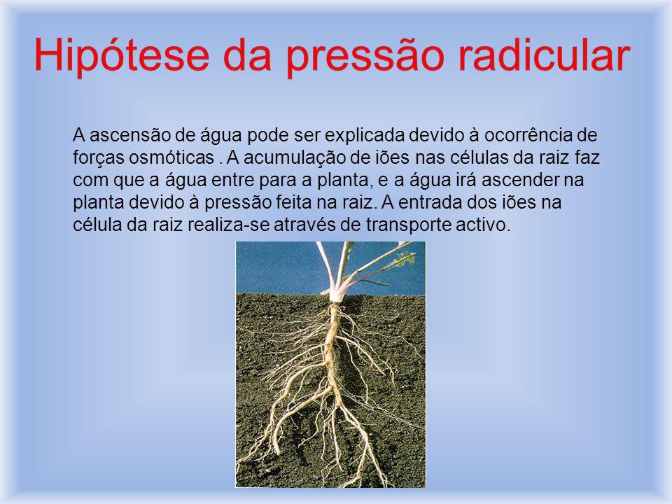 Hipótese da pressão radicular