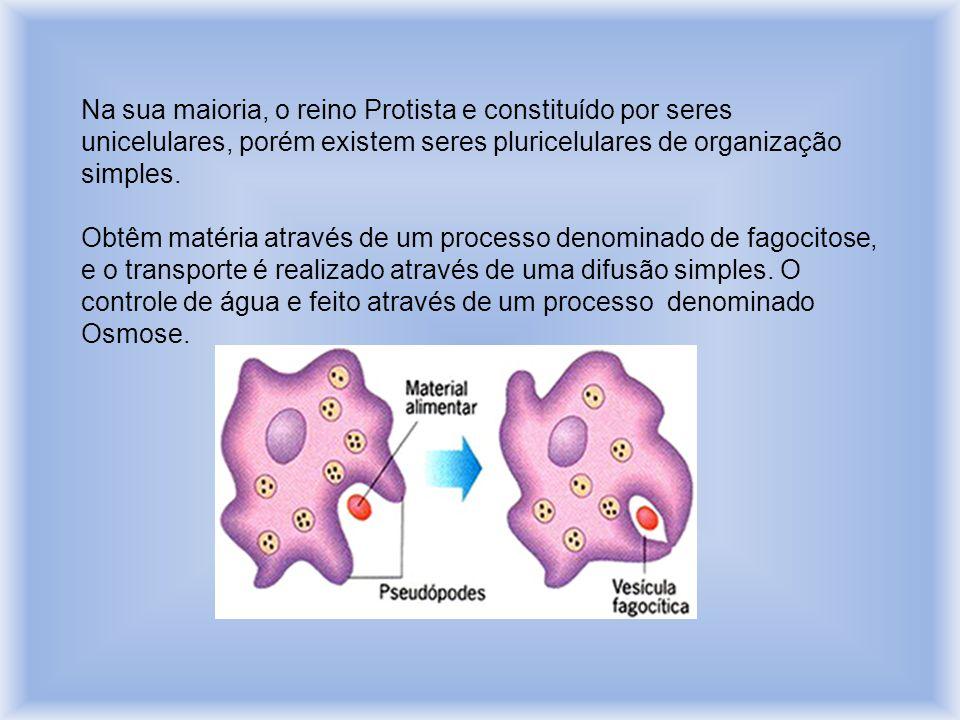 Na sua maioria, o reino Protista e constituído por seres unicelulares, porém existem seres pluricelulares de organização simples.