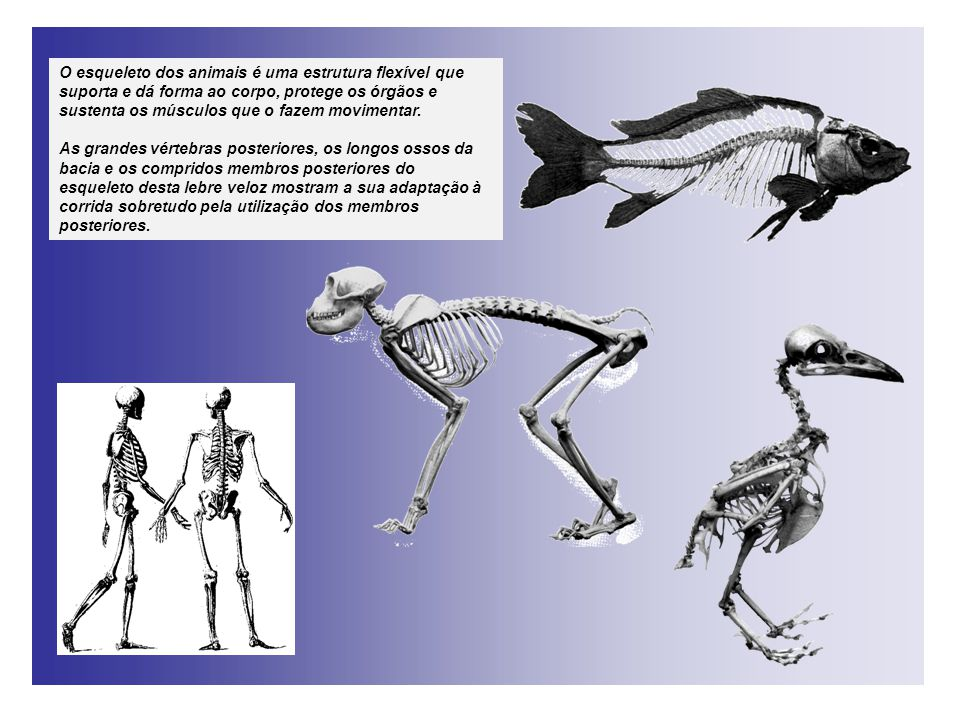 O esqueleto dos animais é uma estrutura flexível que suporta e dá forma ao corpo, protege os órgãos e sustenta os músculos que o fazem movimentar.
