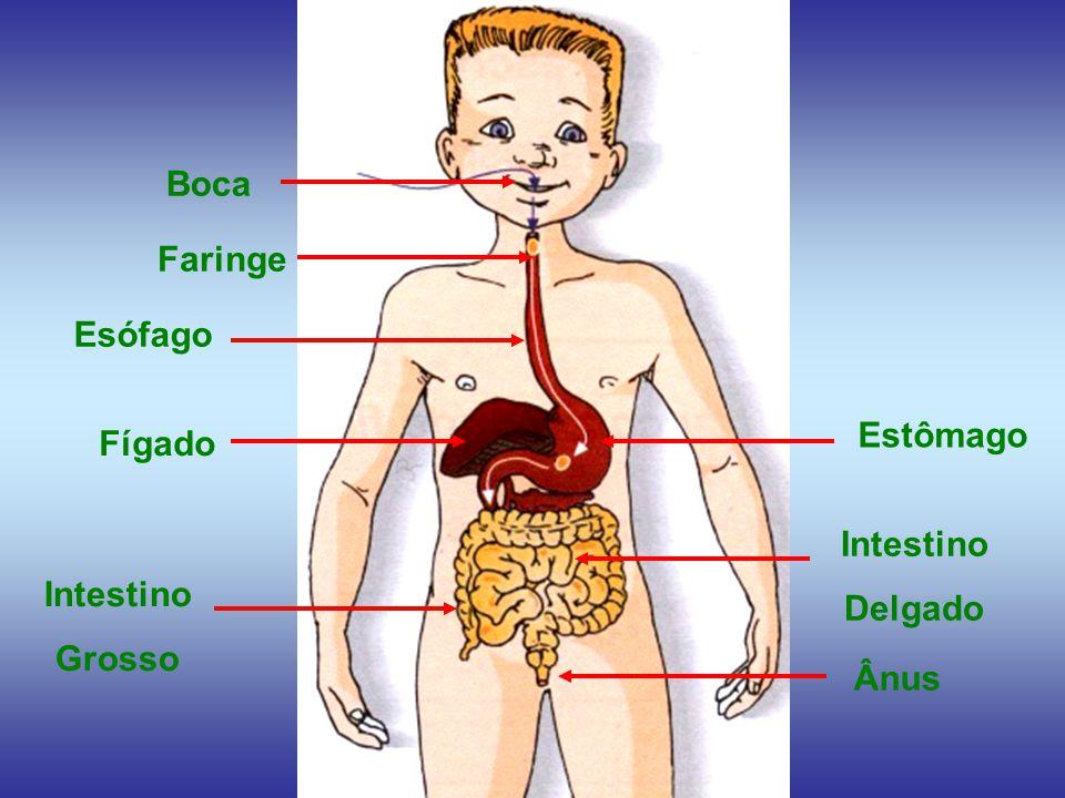 Boca Faringe Esófago Estômago Fígado Intestino Delgado Intestino Grosso Ânus