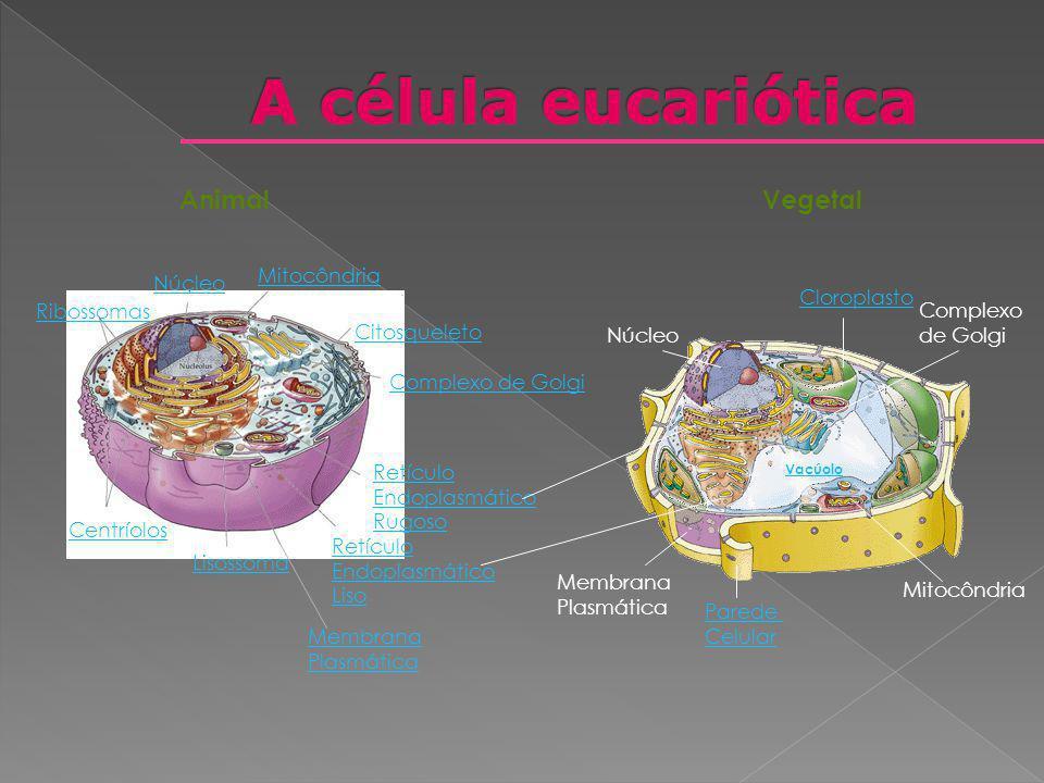 A célula eucariótica Animal Vegetal Mitocôndria Núcleo Cloroplasto