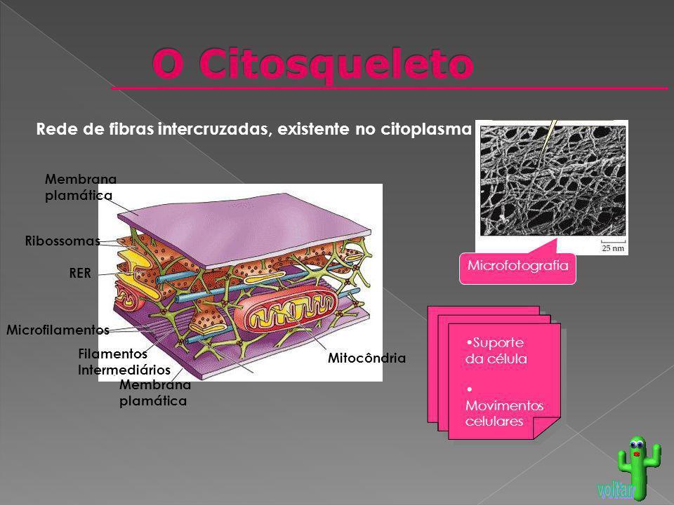 O Citosqueleto Rede de fibras intercruzadas, existente no citoplasma
