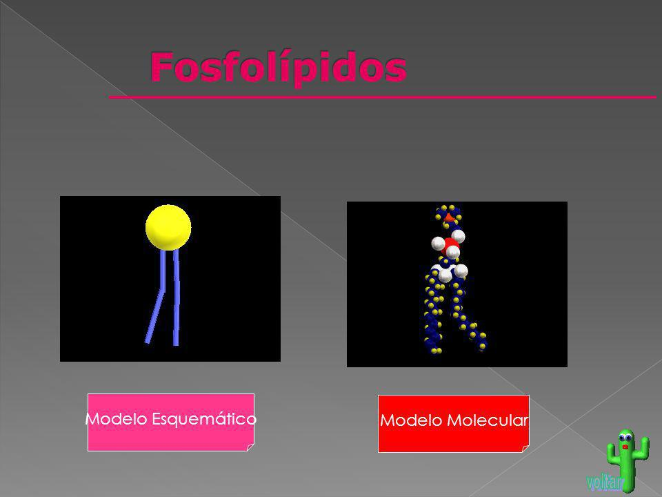 Fosfolípidos Modelo Esquemático Modelo Molecular voltar