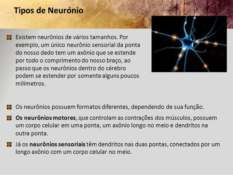 Tipos de Neurónio Existem neurônios de vários tamanhos. Por. exemplo, um único neurônio sensorial da ponta.