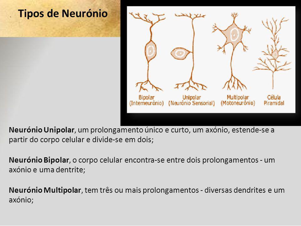 Tipos de Neurónio Neurónio Unipolar, um prolongamento único e curto, um axónio, estende-se a partir do corpo celular e divide-se em dois;