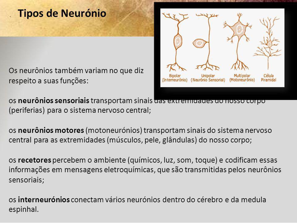 Tipos de Neurónio Os neurônios também variam no que diz