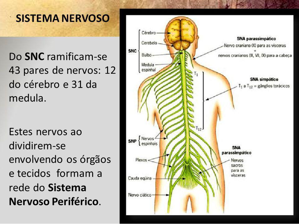 SISTEMA NERVOSO Do SNC ramificam-se. 43 pares de nervos: 12. do cérebro e 31 da. medula. Estes nervos ao.