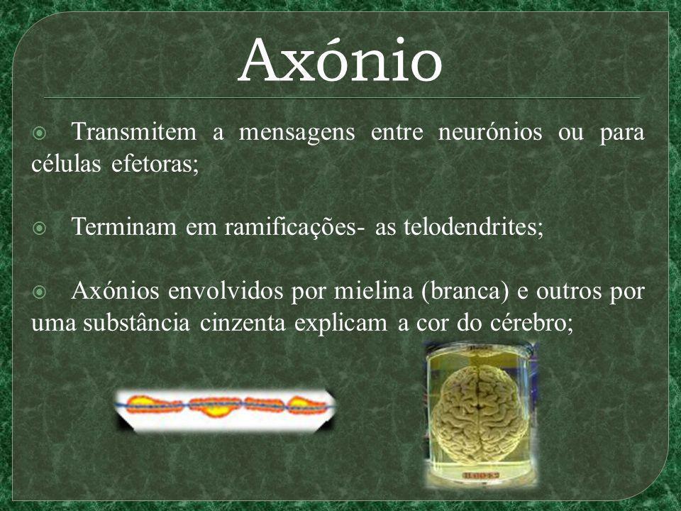 Axónio Transmitem a mensagens entre neurónios ou para células efetoras; Terminam em ramificações- as telodendrites;