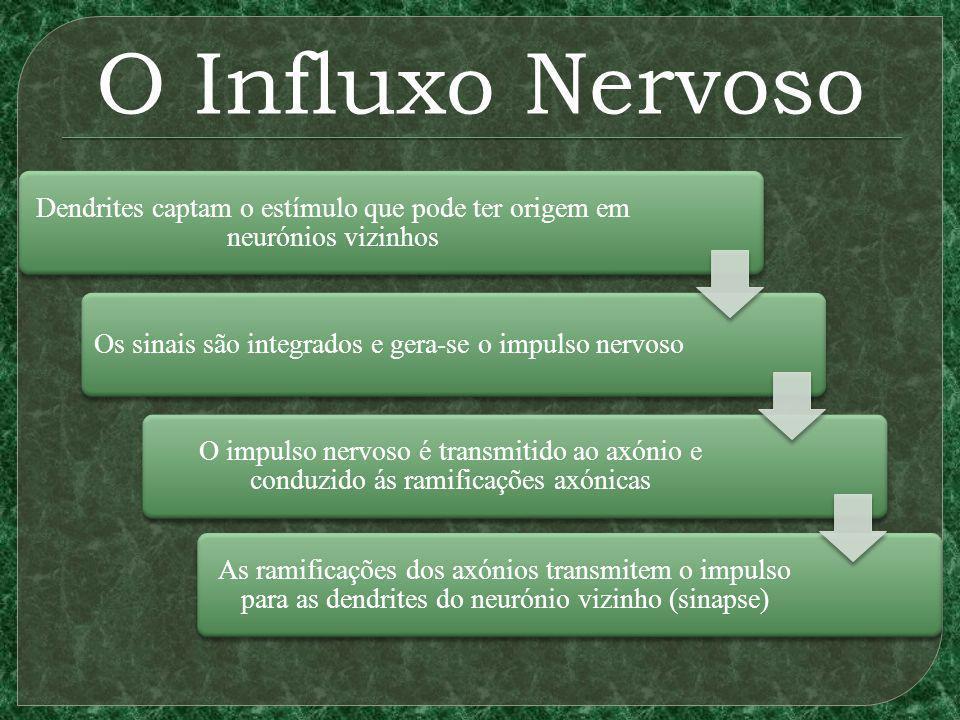 O Influxo Nervoso Dendrites captam o estímulo que pode ter origem em neurónios vizinhos. Os sinais são integrados e gera-se o impulso nervoso.