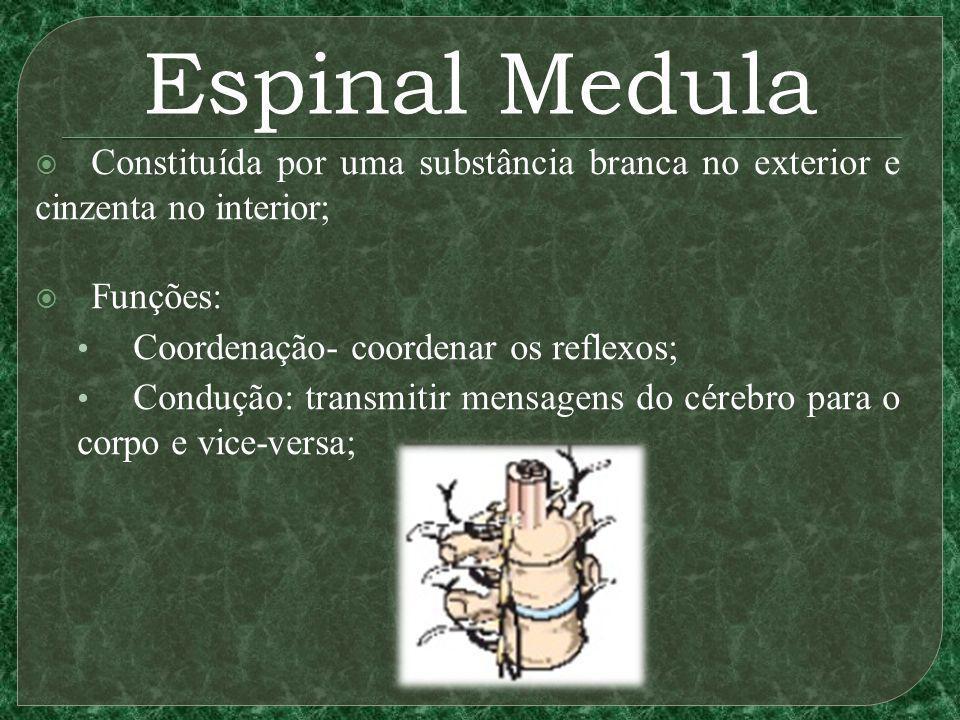 Espinal Medula Constituída por uma substância branca no exterior e cinzenta no interior; Funções: Coordenação- coordenar os reflexos;