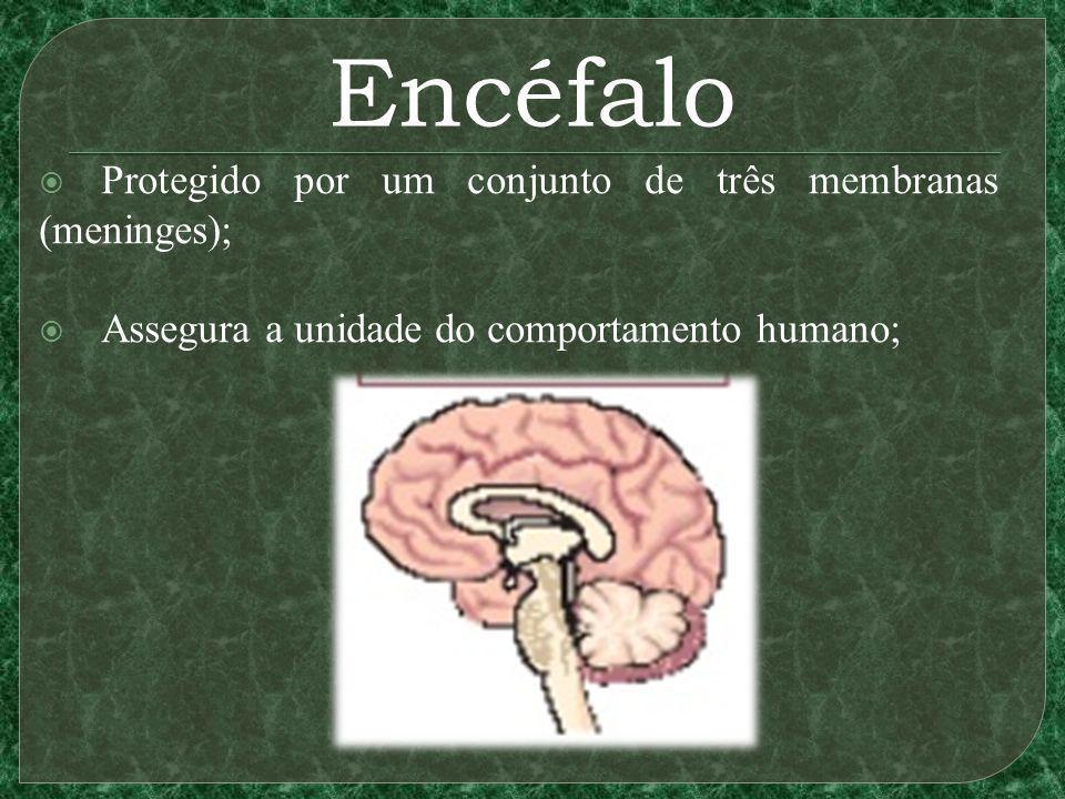 Encéfalo Protegido por um conjunto de três membranas (meninges);
