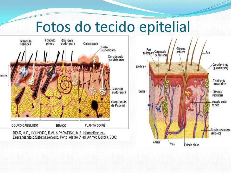 Fotos do tecido epitelial