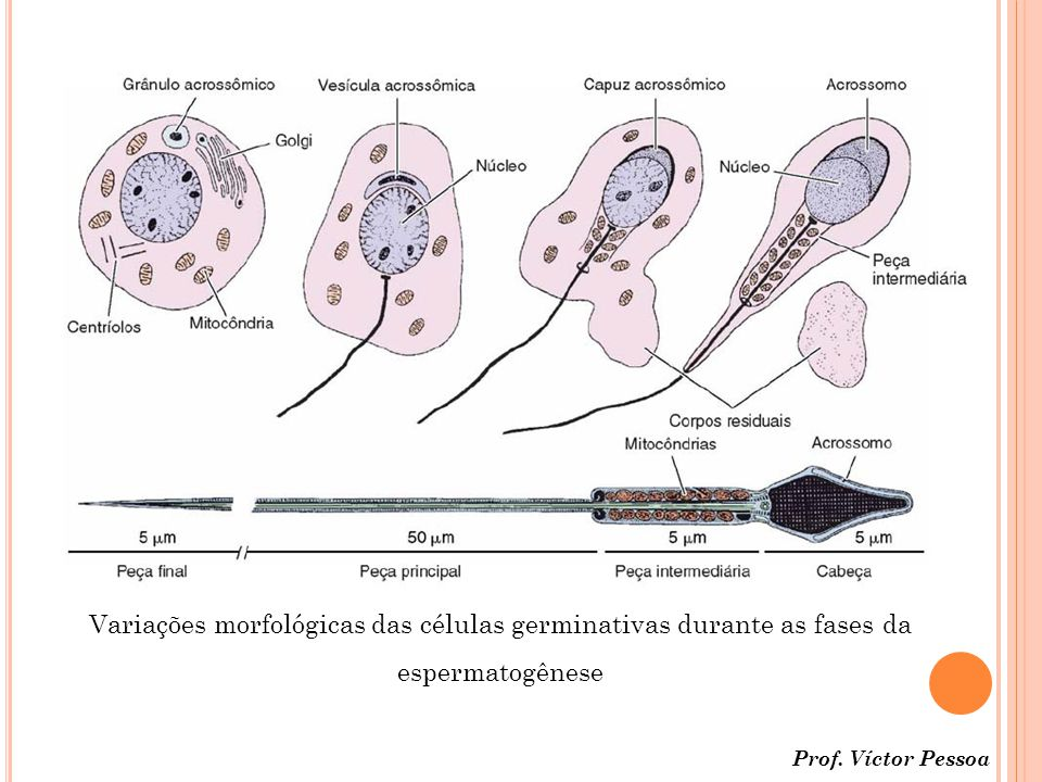 Variações morfológicas das células germinativas durante as fases da espermatogênese