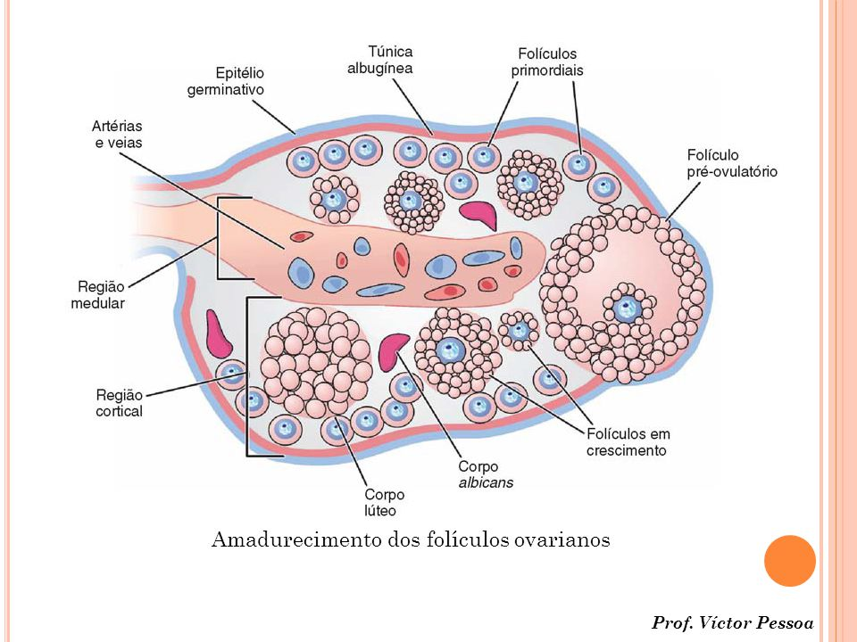 Amadurecimento dos folículos ovarianos