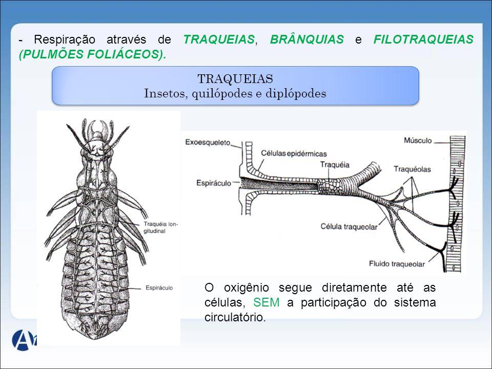 Insetos, quilópodes e diplópodes