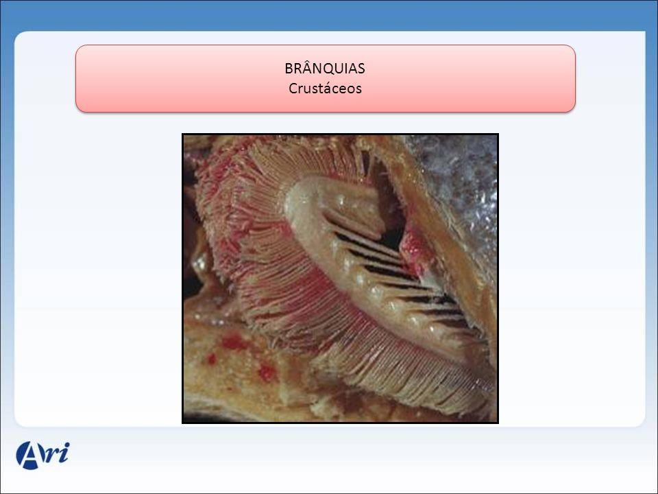 BRÂNQUIAS Crustáceos