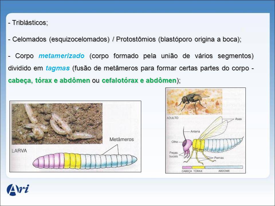 Triblásticos; Celomados (esquizocelomados) / Protostômios (blastóporo origina a boca);