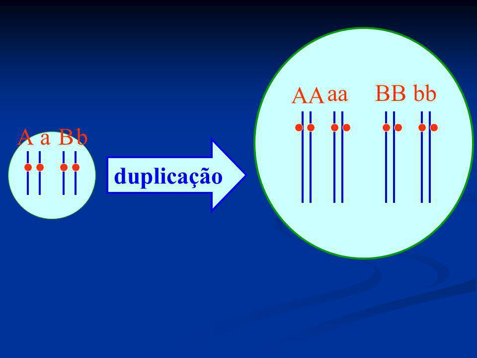 AA aa BB bb A a B b duplicação