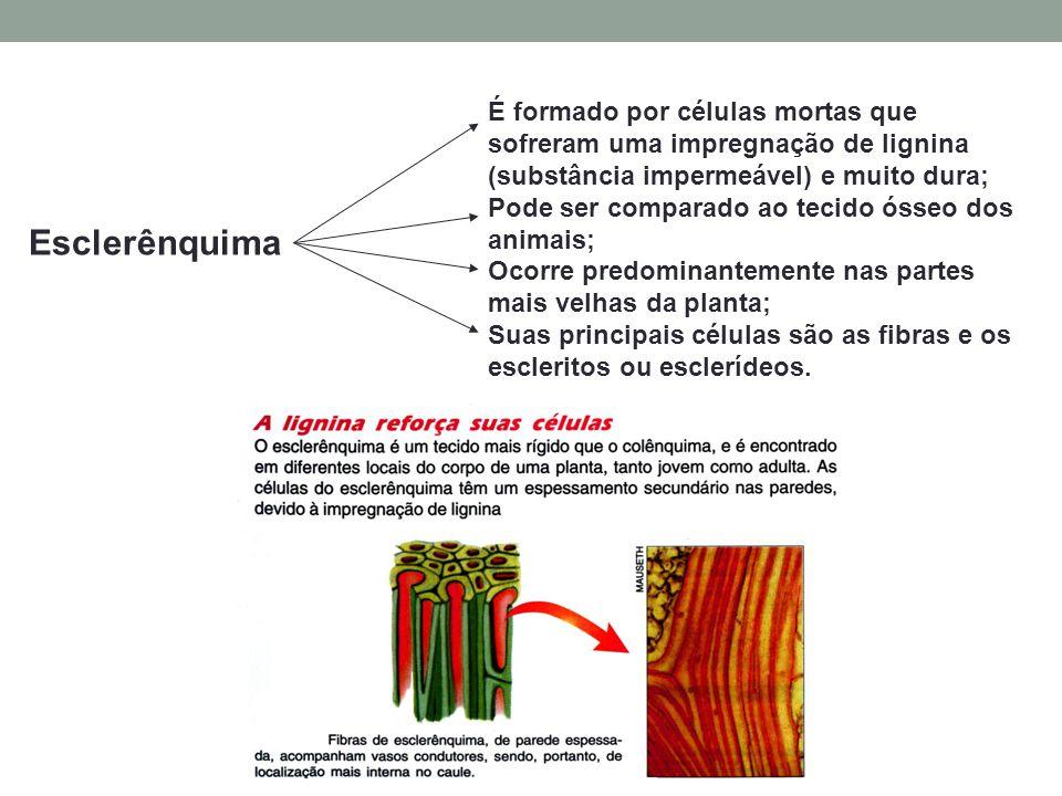 É formado por células mortas que sofreram uma impregnação de lignina (substância impermeável) e muito dura;