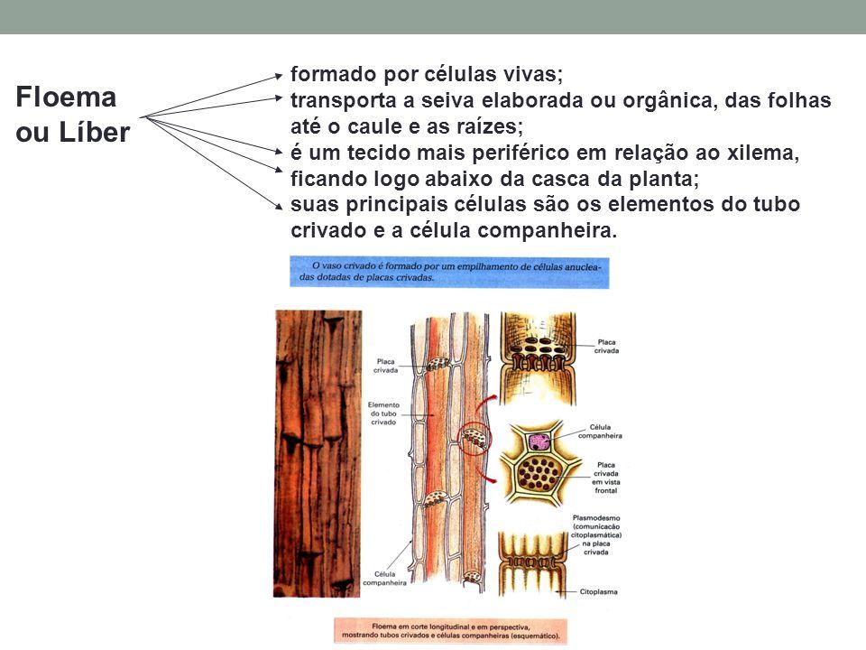 Floema ou Líber formado por células vivas;