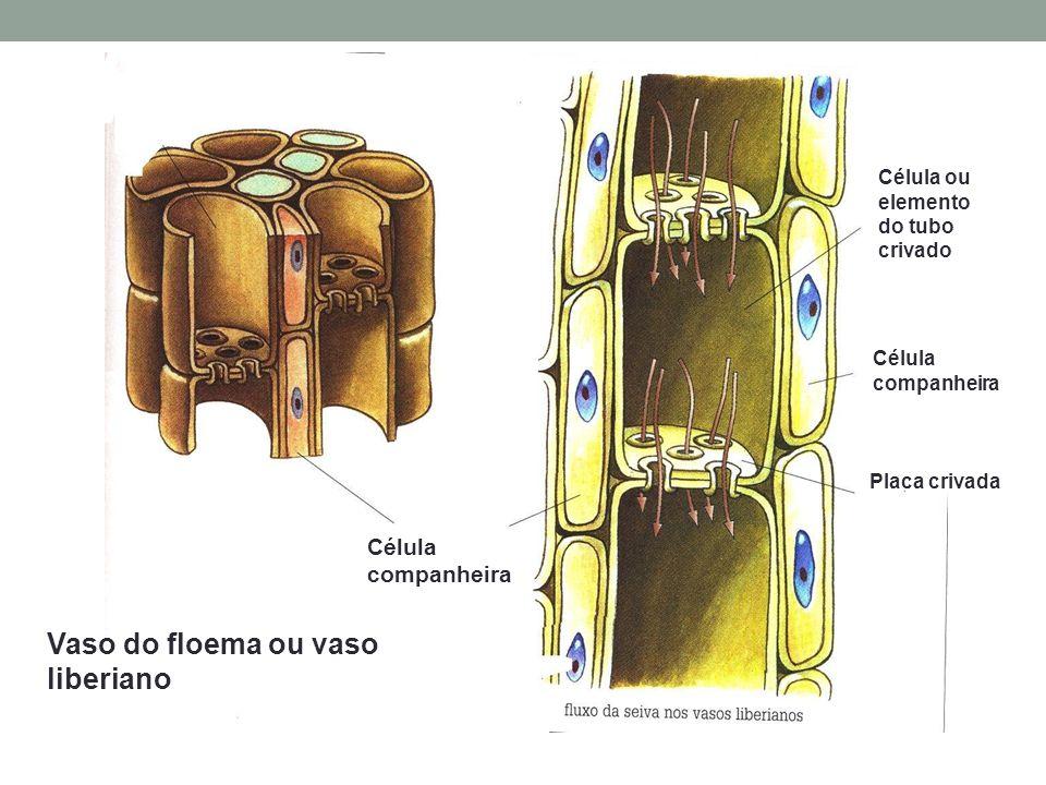 Vaso do floema ou vaso liberiano Célula companheira Célula ou elemento