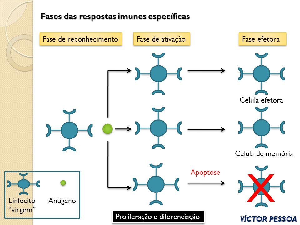 X Fases das respostas imunes específicas Fase de reconhecimento