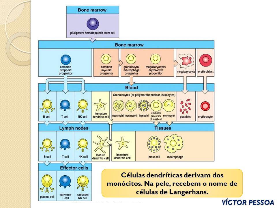 Células dendríticas derivam dos monócitos