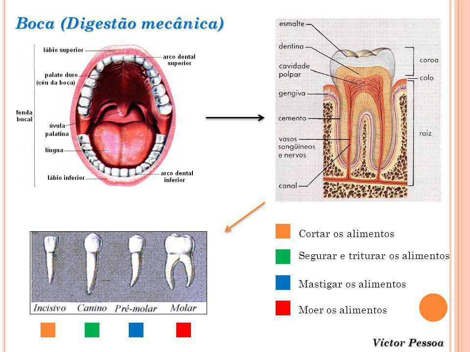 Boca (Digestão mecânica)