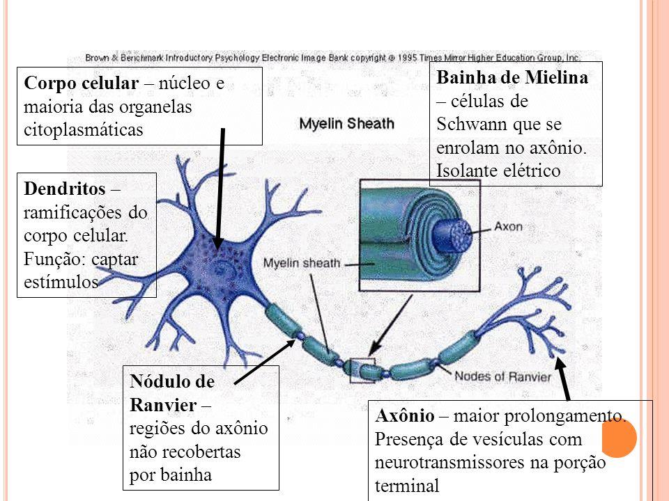 Bainha de Mielina – células de Schwann que se enrolam no axônio