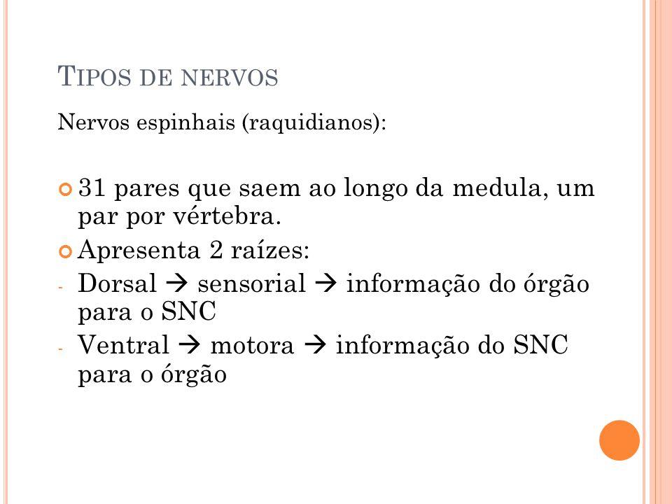 Tipos de nervos Nervos espinhais (raquidianos): 31 pares que saem ao longo da medula, um par por vértebra.