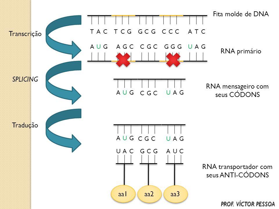 RNA mensageiro com seus CÓDONS