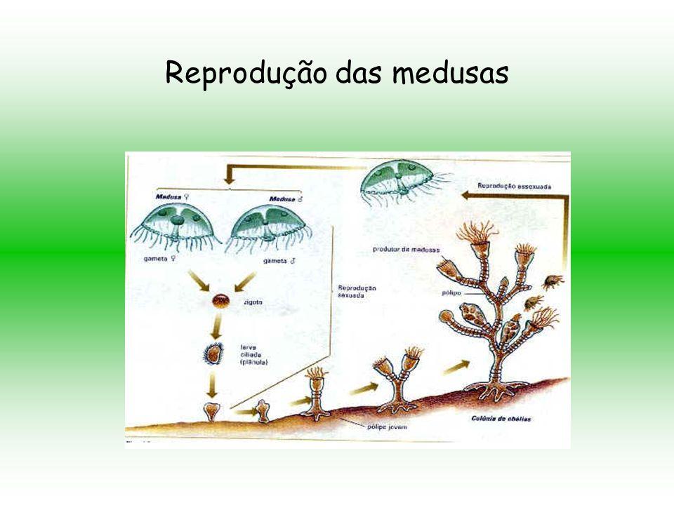 Reprodução das medusas