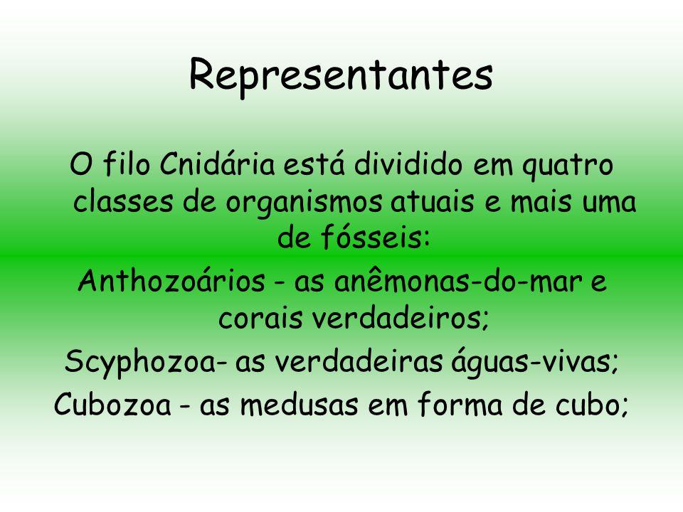 Representantes O filo Cnidária está dividido em quatro classes de organismos atuais e mais uma de fósseis:
